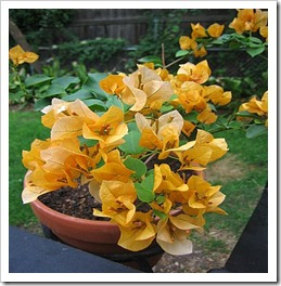 زراعة نبات الجهنمية(المجنونة Bougainvillea IMG_8769_thumb[3].jpg?imgmax=800